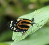Tiger Mimic Queen - Lycorea halia