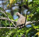 Eared Dove - Zenaida auriculata