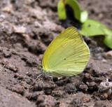 Venusta Grass Yellow -  Pyrisitia venusta