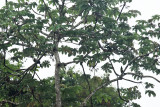 White-throated Toucan - Ramphastos tucanus & Black-necked Aracari - Pteroglossus aracari