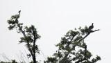 Horned Screamer - Anhima cornuta