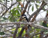 Green Kingfisher - Chloroceryle americana