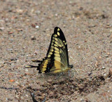 False Giant Swallowtail - Papilio homothoas