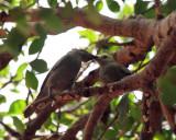 Palm Tanager - Thraupis palmarum