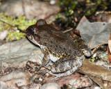 Guyana Frogs (unidentified)