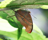 Ruddy Daggerwing - Marpesia petreus