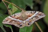 Guyana Moths & Caterpillars