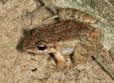 Mountain Paddy Field Frog - Fejervarya kirtisinghei