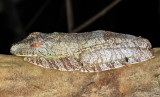 Neotropical Marbled Treefrog - Dendropsophus marmoratus (with a mosquito biting)
