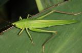 Guyana Katydids - Tettigoniidae