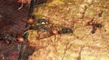 Eciton burchellii