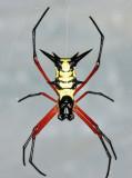 Guyana Orb Weaver Spiders