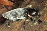 large Buprestidae - Euchroma gigantea