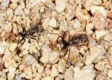 Dolichoderus validus