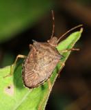 Guyana Stink Bugs - Pentatomidae