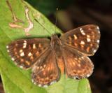 Epulus Metalmark - Aricoris epulus
