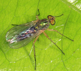 Long-legged Fly - Dolichopodidae