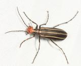 Blister Beetle - Epicauta sp.