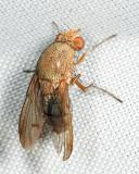 Curtonotidae