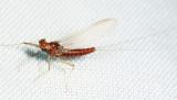 Mayfly 1433