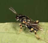 Chalcid Wasp