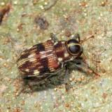Weevil - Conoderinae