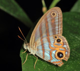 Marica Blue Ringlet - Chloreuptychia marica
