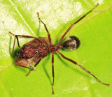 Dolichoderus decollatus