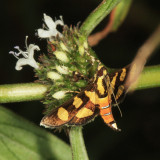 5284 - Red-waisted Florella - Syngamia florella