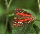 Coolie - Anartia amathea