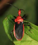 Pothea sp. (Ectrichodiinae)