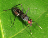 Stilt-legged Fly - Micropezidae