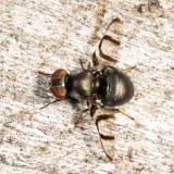 Signal Fly - Platystomatidae