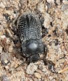 Darkling Beetle - Tenebrionidae