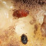 Sap-feeding Beetle - Nitidulidae - Epuraea (Haptoncus) sp.