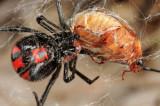Guyana Cobweb Spiders