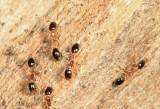 Monomorium floricola