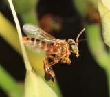 Guyana Bees