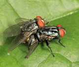 Flesh Flies - Sarcophagidae