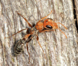 Pseudomyrmex sp.