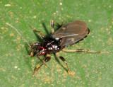 Ectrichodiinae