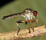 Pygommatius sp. (male)