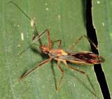 Repipta flavicans (Harpactorinae)
