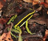 Three-striped Poison Dart Frog - Ameerega trivittata