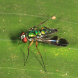 Long-legged Fly - Dolichopodidae - Condylostylus sp.