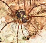 Cosmetidae - Cynorta sp.