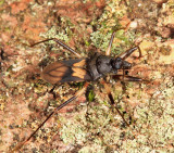 Pessoaia limai (Vescinae)