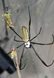 Golden Silk Orbweaver - Nephila clavipes