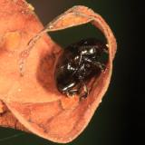 Eumolpinae