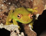Demerara Falls Tree Frog - Hypsiboas cinerascens